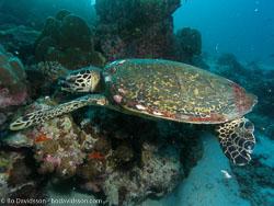 BD-070402-Similan-4020178-Eretmochelys-imbricata-(Linnaeus.-1766)-[Hawksbill-turtle.-Karettsköldpadda].jpg